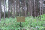 Horesrootin polun varrella olevaa vuonna 1967 istutettua Itsenäisyyden kuusikkoa.